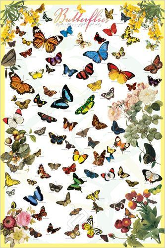 butterfly species poster cal academy store